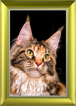 AVRORACOON NATALI MAINECOON CATTERY